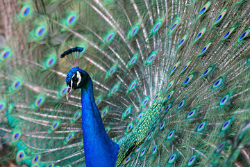 A photo of a peacock showing off for courtship