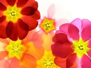 Poster de jardin Macro Close-up of primula flower against white background