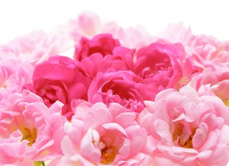 Poster de jardin Macro Close-up of pink rose flowers against white background