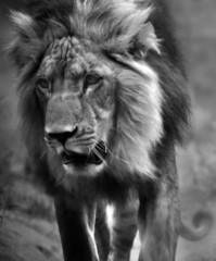 Fotobehang Leeuw Black And White Lion