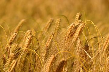 Weizen Feld - goldene Ähren