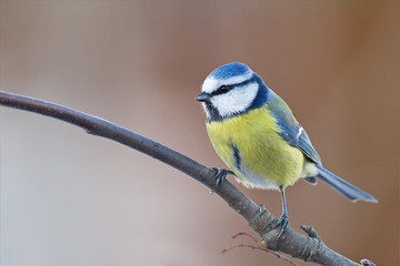 Recess Fitting Bird winter blue tit