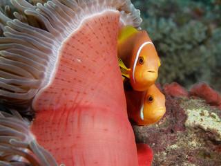 Anemone mit Clownfischpaar
