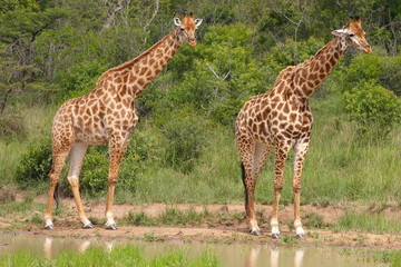 Giraffes (Giraffa cameloparadalis) at the waterhole