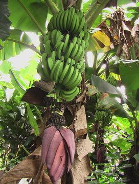 Régime de bananes avec fleur