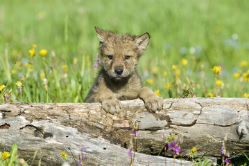 Gray wolf cub in field of spring flowers.
