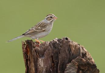 Fotoväggar - Clay-colored Sparrow
