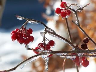 Red wild berries