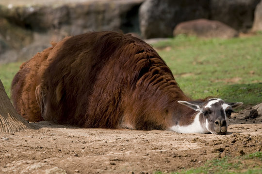 sleepy llama sunbathing