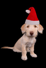 Cute yellow puppy in Santa Claus hat isolated over black