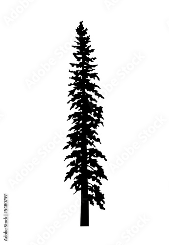 """"""" Grand Fir Tree Silhouette"""" Stock photo and royalty-free"""