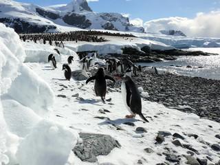 gentoo penguins on the beach in antarctica.