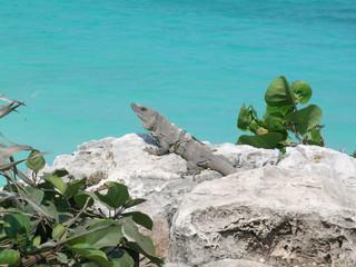 Iguana basks in the sun, Tulum, Mexico