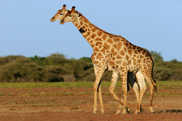 Two giraffes (Giraffa camelopardalis), Namibia