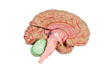 Menschliches Lehrmodell eines Gehirns
