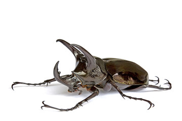 Isolated macro image of a giant three-horned Rhino Beetle.