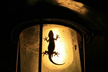 Hunting Gecko