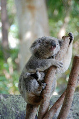 Koala bear in a eucalyptus tree