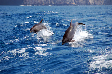 Jumping bottle nose dolphins