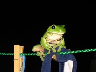 A Tree Frog on a Clothesline