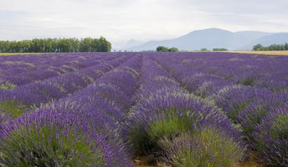 Garden Poster Lavender Champs010