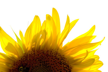 Sunflower in Light