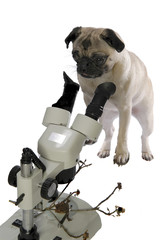 pug dog scientist looking in microscope