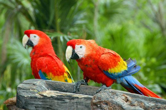 pappagalli colorati in una riserva naturale in Messico