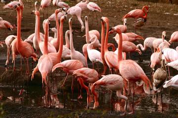 Gruppe von Flamingos