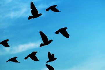 Pigeons in flight.