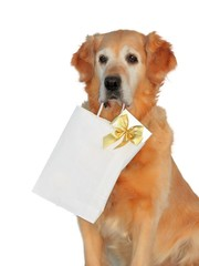 Golden retriever like dog, which bears presents