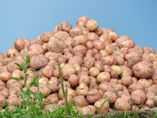 Mountain of a potato