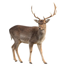 Foto op Textielframe Hert buck deer isolated with clipping path