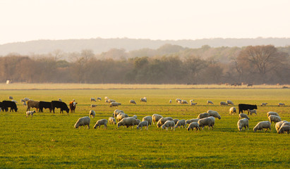 Sheep and cattle at sunrise