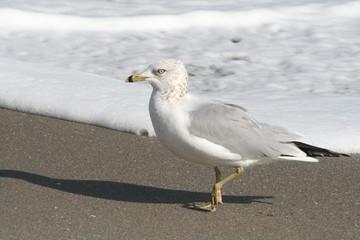 seagull along the Florida surf