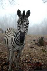 A black and white zebra stands alone in fog