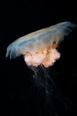 a big jellyfish on black background
