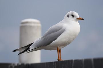 Gabbiano - Bird