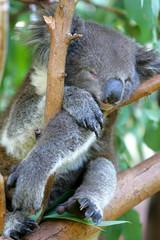 Canvas Prints Koala Bear