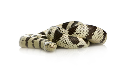 California Kingsnake - Lampropeltis getulus californiae