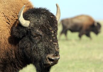 Close-up buffalo. Askania-Nova. Ukraine
