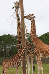 GIRAFFE FAMILY EATING