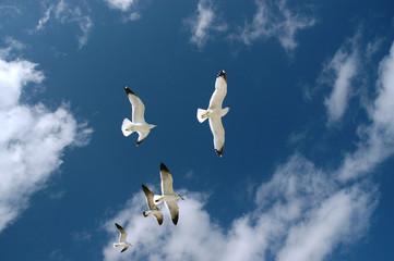 seagull flying, florida