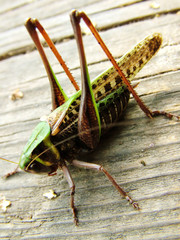 grasshoppers sitting on the board ready to a jump