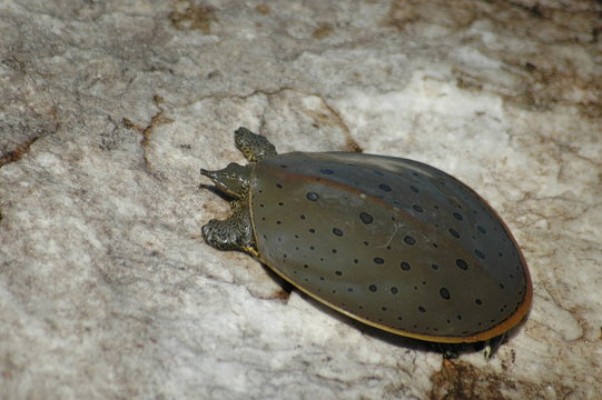 Eastern Spiny Softshell Turtle, Male