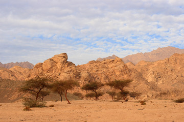 Acacia trees in Sinai, Egypt