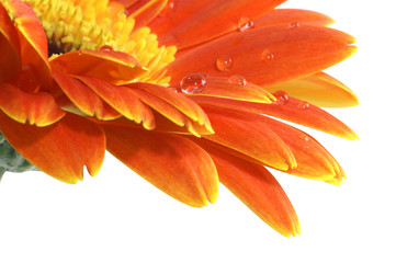 Papiers peints Gerbera gerbera daisy with a water drops isolated with Path