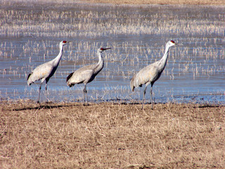 Sandhill cranes in the Bosque del Apache Wildlife Refuge