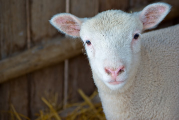 a very cute little baby lamb looks at the camera