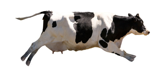 Foto op Plexiglas Koe A flying cow isolated on white